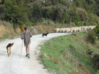 Droving sheep at Kairuru Farmstay Accomodation near Nelson