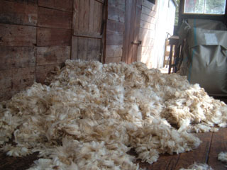 Lambs' wool at Kairuru Farmstay